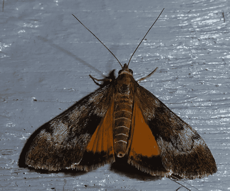 Kowhai moth Aalbert Rebergen CCBYNC ScaleWidthWzEwMjRd.jpg